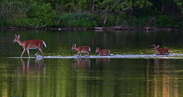 Photograph - Deer Family Crossing by William Jobes