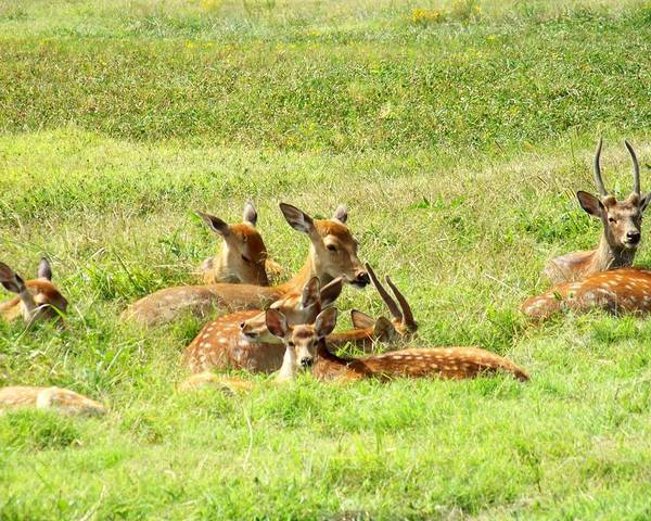Photograph - Deer Family by Jai Johnson