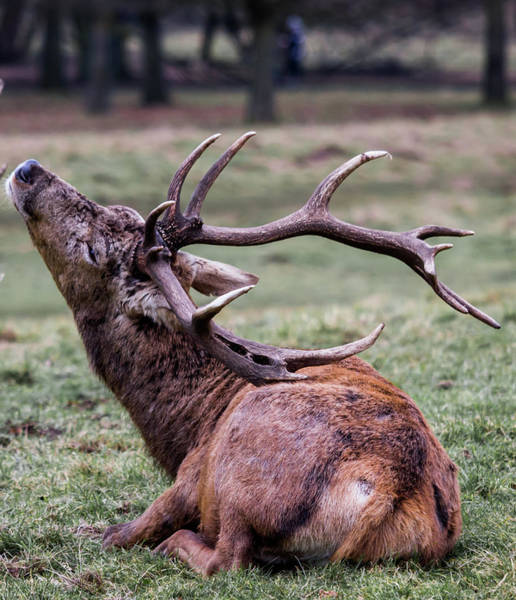 Photograph - Deer Having A Scratch by Scott Lyons