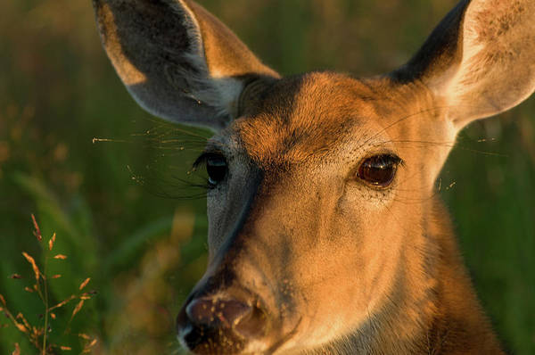 Photograph - Deer Head Shot by Louis Dallara