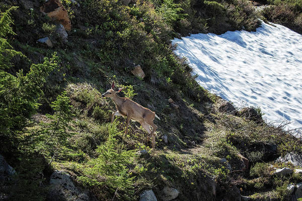 Photograph - Deer Heading Up The Mountain, No. 2 by Belinda Greb