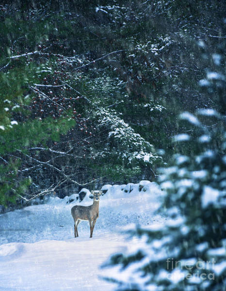 White Tailed Deer Photograph - Deer In A Snowy Glade by Diane Diederich