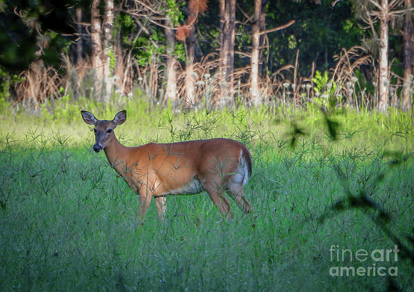 Photograph - Deer In Grass by Tom Claud