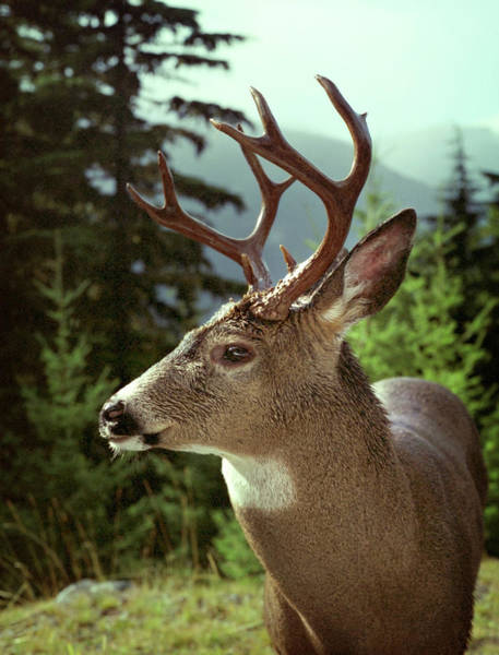 Photograph - Deer In Profile by Marilyn Hunt