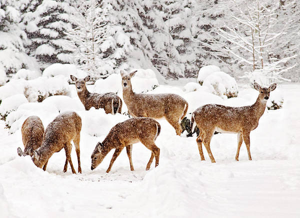Photograph - Deer In The Snow 2 by Angel Cher