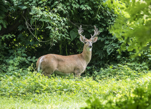 Photograph - Eastern White Tail Deer by Paul Ross