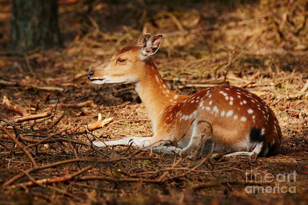 Photograph - Deer Lying In A Sunny Spot In A Dark Forest by Nick  Biemans