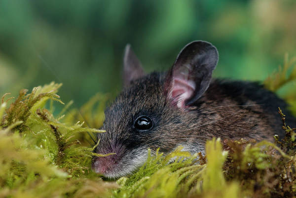 Photograph - Deer Mouse by Robert Potts