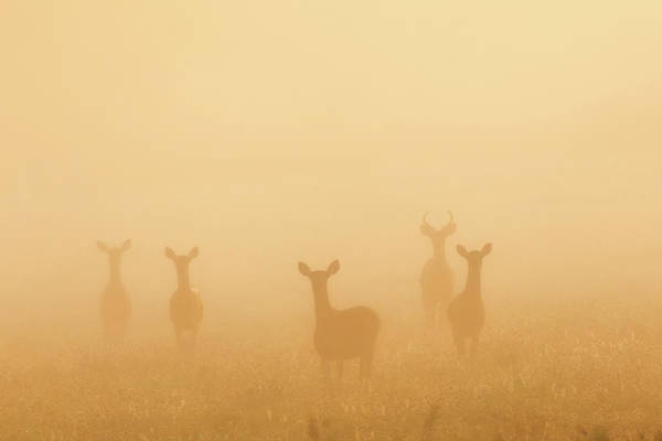 Photograph - Deer Of The Fog by Bill Wakeley