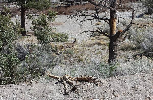 Photograph - One Deer On A Dry Mountain by Karen J Shine