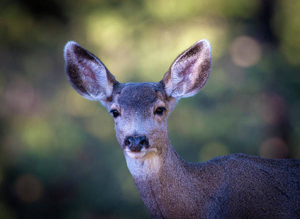 Photograph - Deer Portrait by Judi Dressler