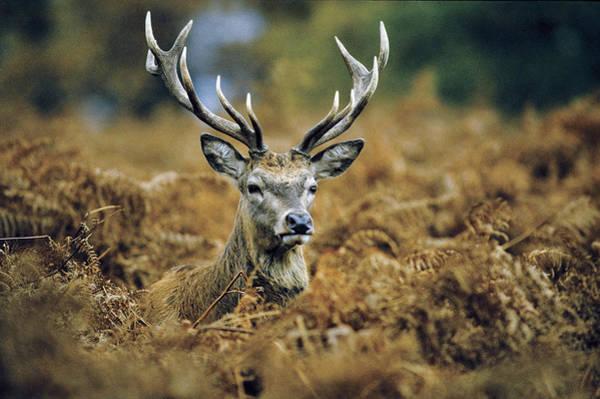 Photograph - Deer Rests In Bracken by Steve Somerville