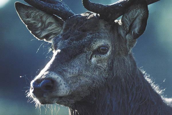 Photograph - Deer by Steve Somerville