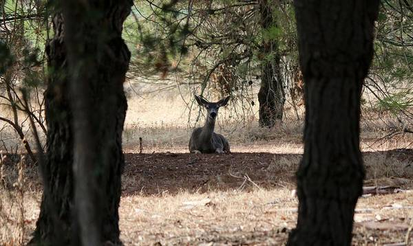 Photograph - Deer Through The Trees  by Christy Pooschke