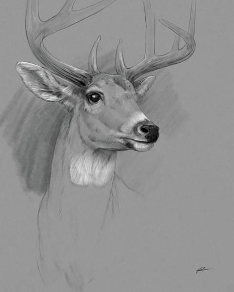 Whitetail Drawing - Deer - Whitetail by Norman Rawn