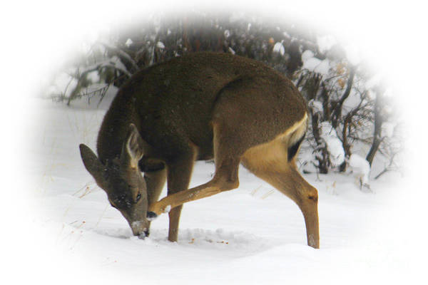 Photograph - Deer With An Itch by James Eddy