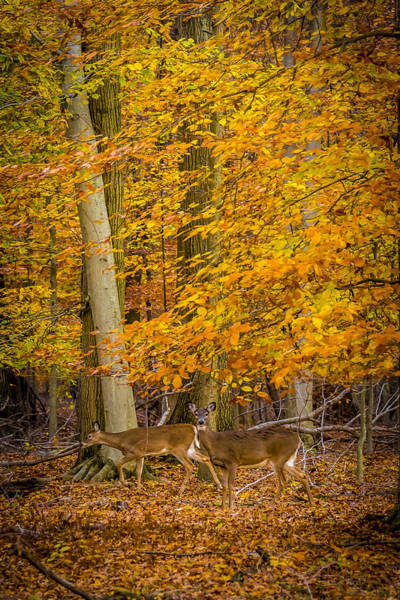 Photograph - Deers In Autumn 2 by Francisco Gomez