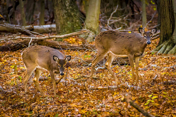 Photograph - Deers In Autumn 4 by Francisco Gomez