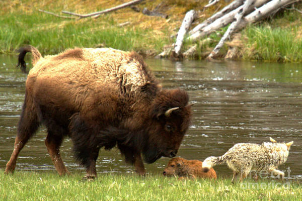 Photograph - Defending The Bison Calf by Adam Jewell
