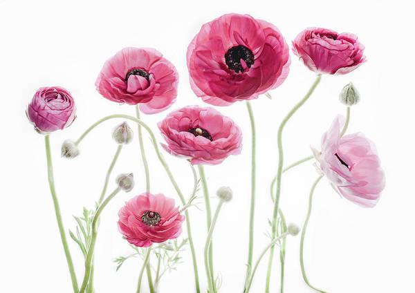 Ranunculus Photograph - Delicate Arrangement by Rebecca Cozart