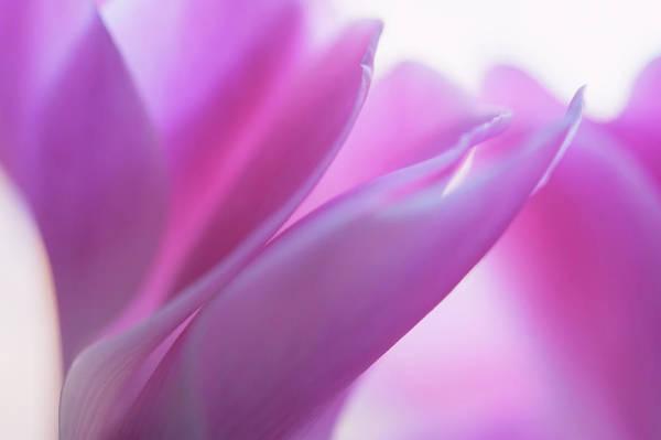 Buy Art Online Photograph - Delicate Beauty Of Cyclamen Flower by Jenny Rainbow