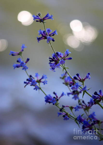 Photograph - Delicate Blue Wildflowers by Carol Groenen