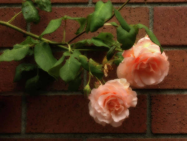 Wall Art - Photograph - Delicate Blush by Barbara  White