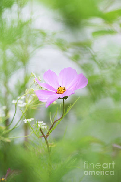 Aster Photograph - Delicate Cosmos by Tim Gainey