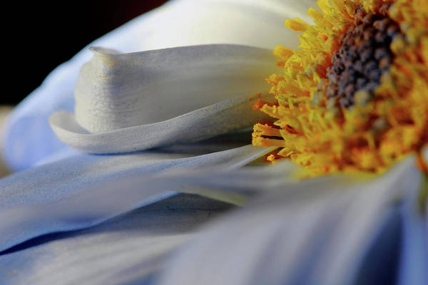 Photograph - Delicate Daisy Petals by Angela Murdcok