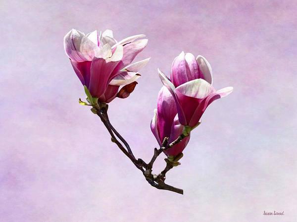 Photograph - Delicate Magnolias by Susan Savad