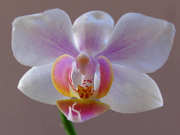 Photograph - Delicate Orchid Portrait by Juergen Roth