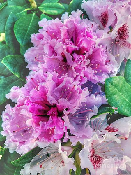 Photograph - Delicate Petals Of Rhododendrons by Marina Usmanskaya