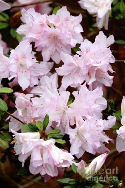 Photograph - Delicate Pink Azaleas by Carol Groenen