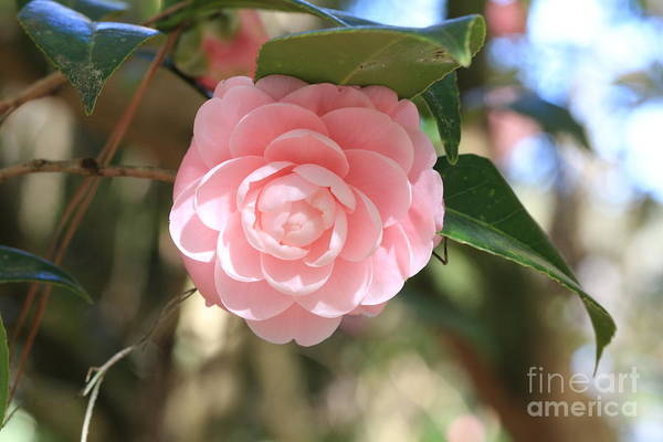 Photograph - Delicate Pink Camellia by Carol Groenen
