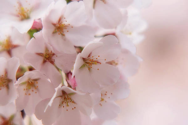 Photograph - Delicate Spring Blooms by Angie Tirado
