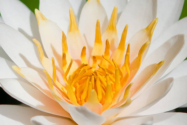Water Lillies Photograph - Delicate Touch by Az Jackson