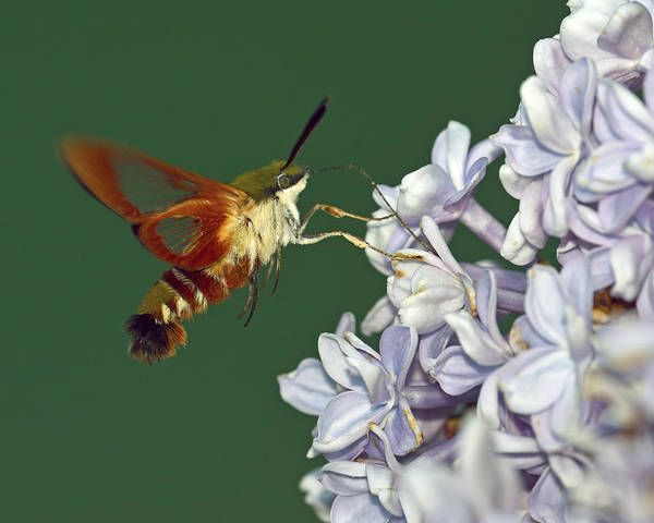 Hemaris Photograph - Delicate Touch by Tony Beck