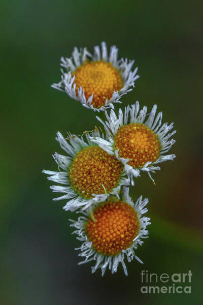 Photograph - Delicate Wildflower Blossoms by Tom Claud
