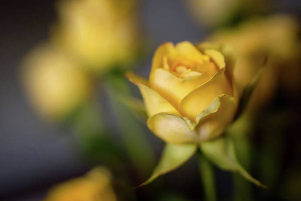 Photograph - Delicate Yellow Rose  by Terry DeLuco