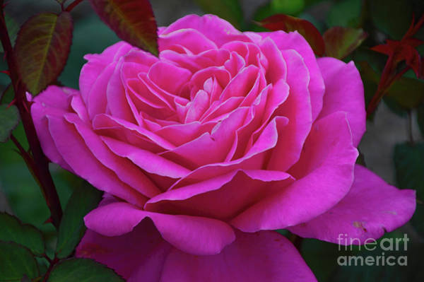 Photograph - Delicious In Muted Dusk by Diana Mary Sharpton