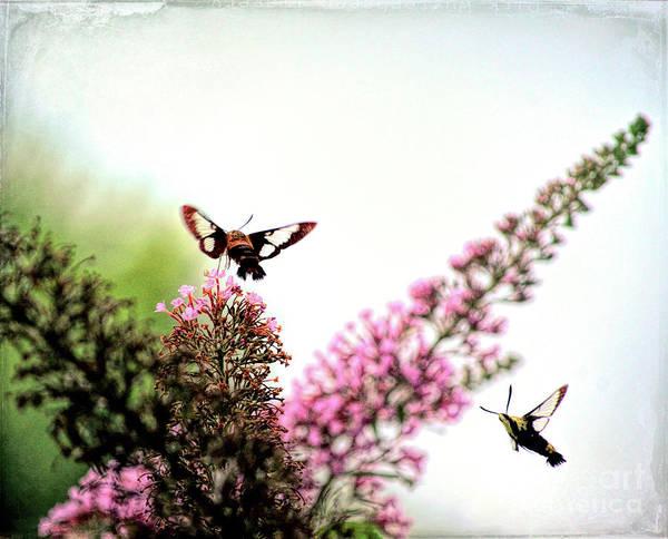 Clearwing Moth Photograph - Delight And Joy - Hummingbird Moths In Flight by Kerri Farley
