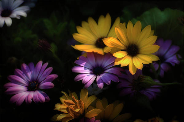 Photograph - Delightful Daisies by Robin Webster