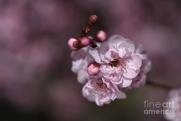 Delightful Pink Prunus Flowers Art Print