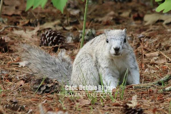 Photograph - Delmarva Fox Squirrel 3809 by Captain Debbie Ritter
