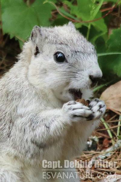 Photograph - Delmarva Fox Squirrel 3832 by Captain Debbie Ritter
