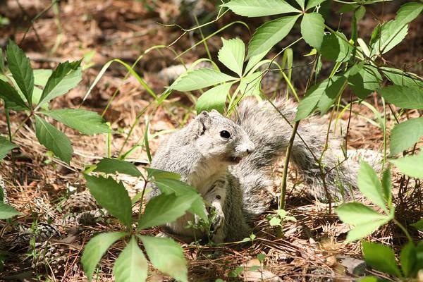 Delmarva Fox Squirrel - Local Rock Star Art Print