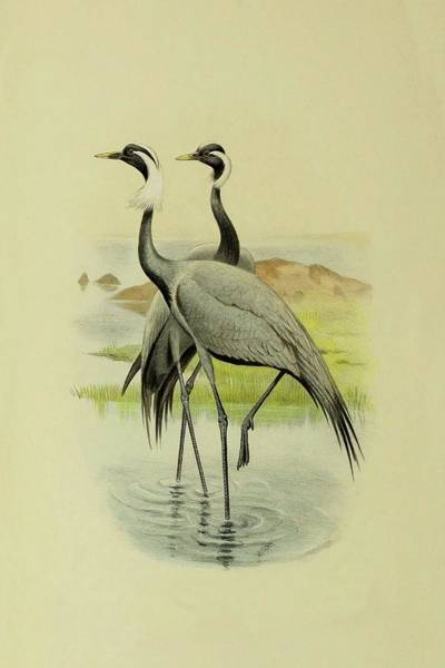 Mixed Media - Demoiselle Cranes By Thorburn by Archibald Thorburn