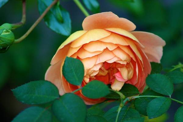 Photograph - Demure Peach Rose by Polly Castor