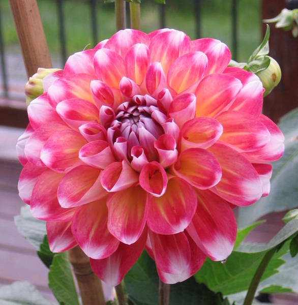 Photograph - Denali Dahlia by Karen J Shine
