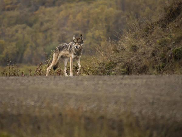 Photograph - Denali Park Wolf by Ian Johnson